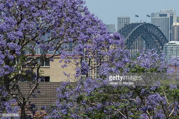 Jacaranda trees with the backdrop of the Sydney Harbour Bridge on November 10 2016 in Sydney Australia Jacaranda trees are not native to Australia...