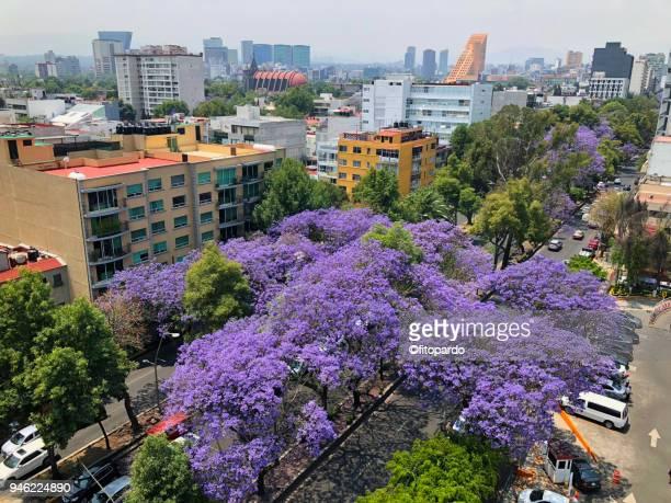 jacarandas blooming lanscape - jacaranda ストックフォトと画像