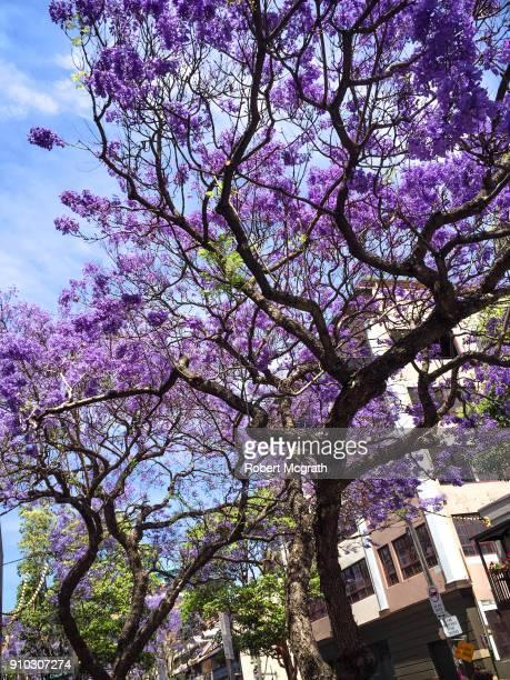 Jacarda trees in full blossom opposite a 1920s apartment block.
