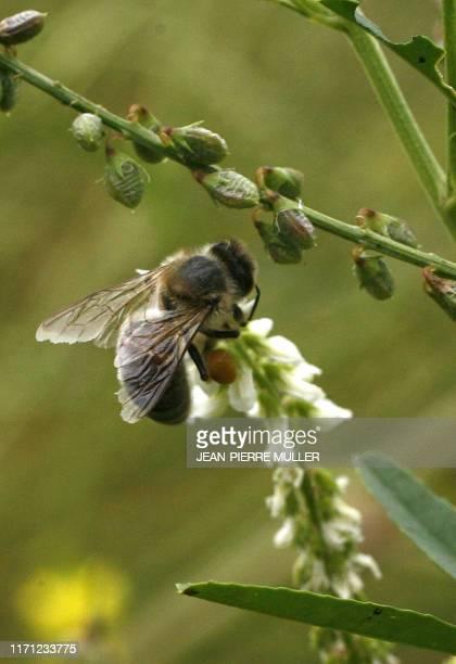 Jachères apicoles un terrain d'entente pour agriculteurs et apiculteurs Une abeille butine une fleur de mélilot dans un champ en jachère le 18...
