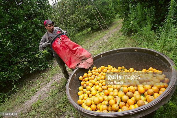 Jacinto Elvarado who is in the US on an H2A guest worker visa picks oranges for Sorrells Brothers Packing Co Inc July 13 2006 in Arcadia Florida For...