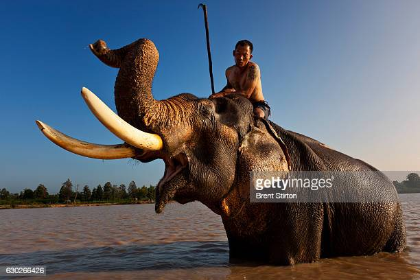 'Jack' a Mahout at Surin Elephant Village feeds and bathes his elephant in the early morning in a dam at Surin Elephant Village in Surin Thailand...