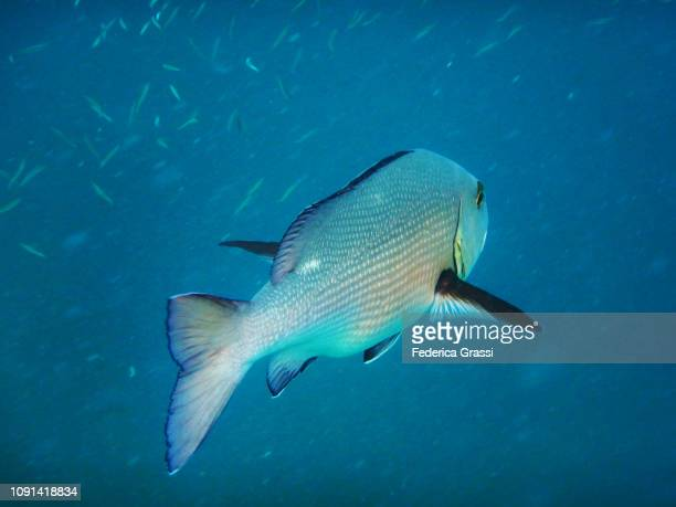 jack fish swimming in maldivian lagoon - jack fish stock pictures, royalty-free photos & images