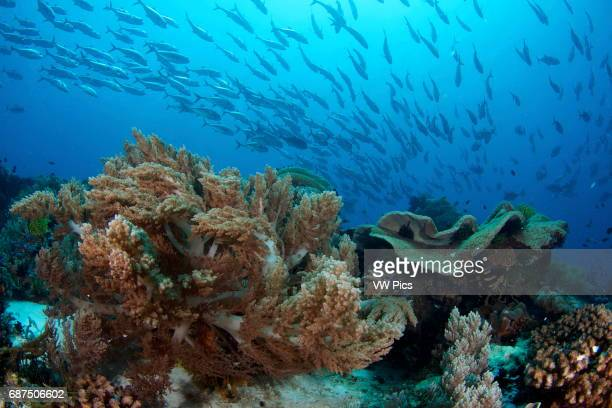 Jack fish swimming over soft corals at Apo Island Philippines