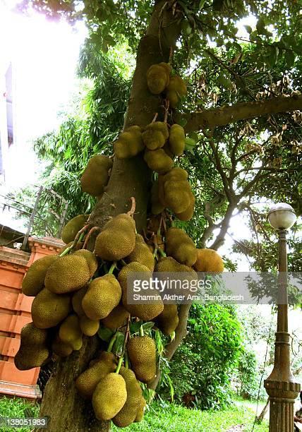 Jack fruit( Artocarpus heterophyllus)