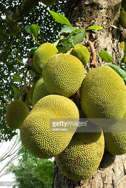 jack fruit tree - jackfruit stock photos and pictures