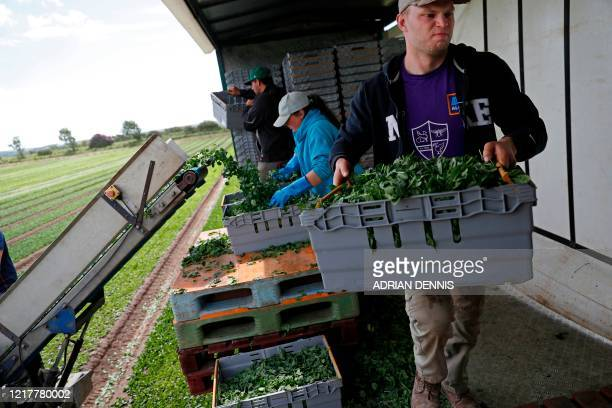 Jack Hargreaves carries a full crate as the UK Seasonal Relief Team working for The Watercress Company looks on as they harvest spinach on farmland...