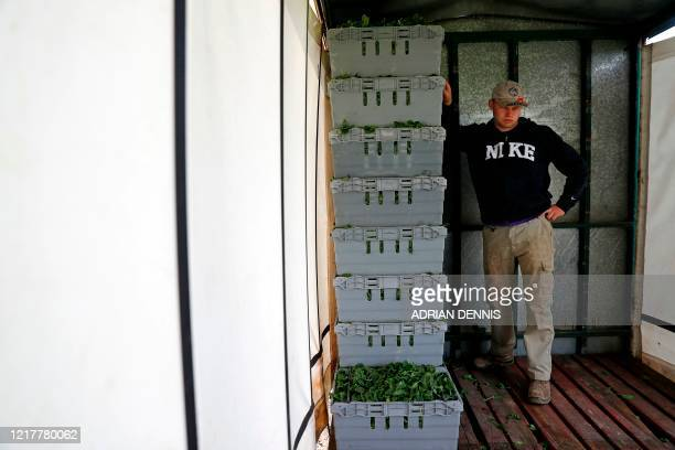 Jack Hargreaves part of the UK Seasonal Relief Team working for The Watercress Company holds onto crates full of spinach as the tractor manoeuvres...