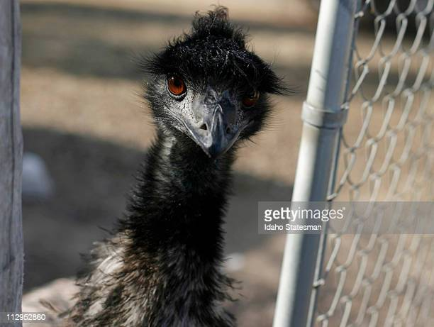 Jack Lawsons, owner of the Emu-Z-um, doesn't really raise Emus anymore, but they have still have five on their property in Grand View, Idaho.