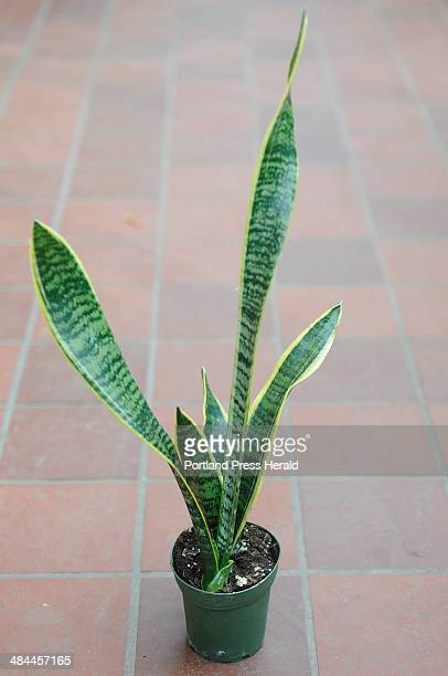 Wednesday February 6 2008 Mary Mixer a greenhouse sales person at Skillins Greenhouses Falmouth recommends a sansevieria as an easy to care for house...