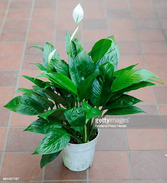 Wednesday February 6 2008 Mary Mixer a greenhouse sales person at Skillins Greenhouses Falmouth recommends a peace lily as an easy to care for house...