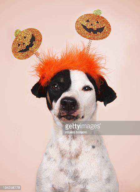Jack russel and halloween