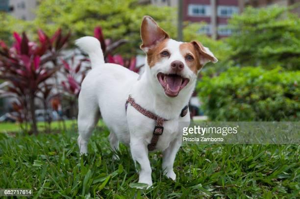 jack russel dog in the garden - jack russell terrier - fotografias e filmes do acervo