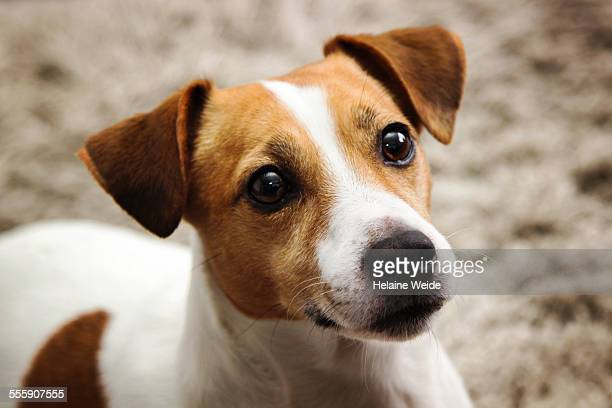 jack russel dog - jack russell terrier photos et images de collection