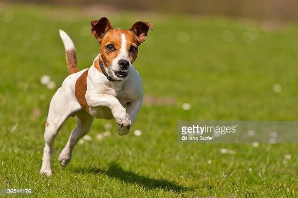 jack russel jumping - jack russell terrier foto e immagini stock