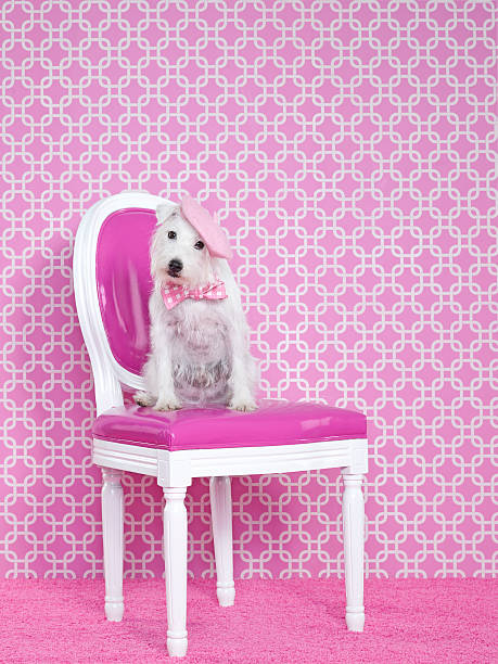 Jack Russel (Canis lupus familiaris) on chair