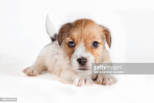 Jack Russel poppy dog