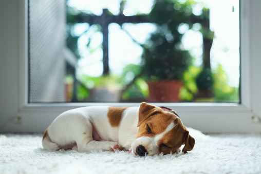 Jack russel puppy on white carpet 895023594
