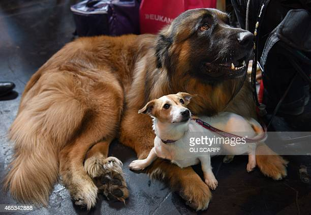 Jack Russel rests with a Portuguese Mountain Dog on the second day of the Crufts dog show at the National Exhibition Centre in Birmingham, central...