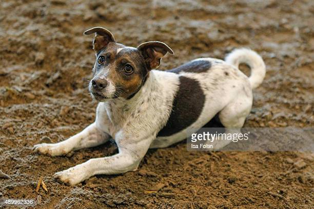 Jack Russel Terrier in a horse stable on June 03 2015 in Diessen am Ammersee Germany