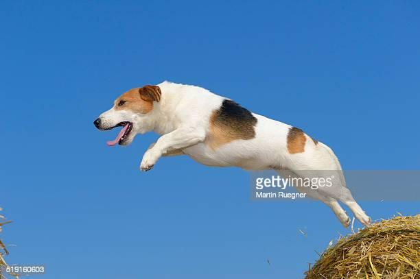 jack russel terrier jumping. - jack russell terrier imagens e fotografias de stock