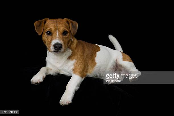 Jack Russel Terrier lying in front of black background