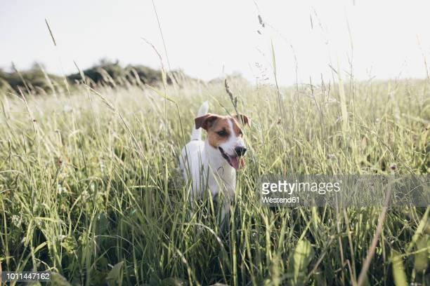 jack russel terrier on a meadow - jack russell terrier imagens e fotografias de stock