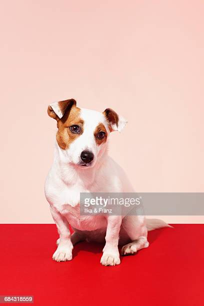 jack russel terrier - jack russell terrier stock photos and pictures
