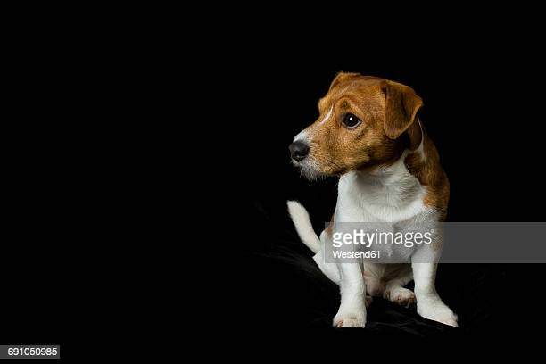 Jack Russel Terrier sitting in front of black background