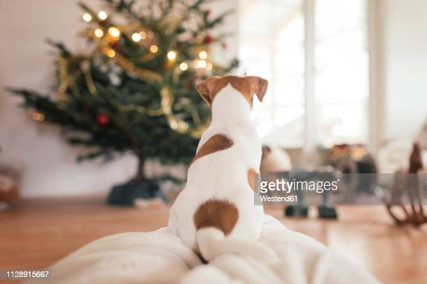 jack russel terrier sitting in front of christmas tree - jack russell terrier stock pictures, royalty-free photos & images