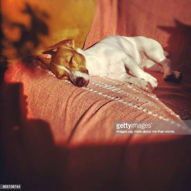 Jack Russel terrier sleeping in the sun.