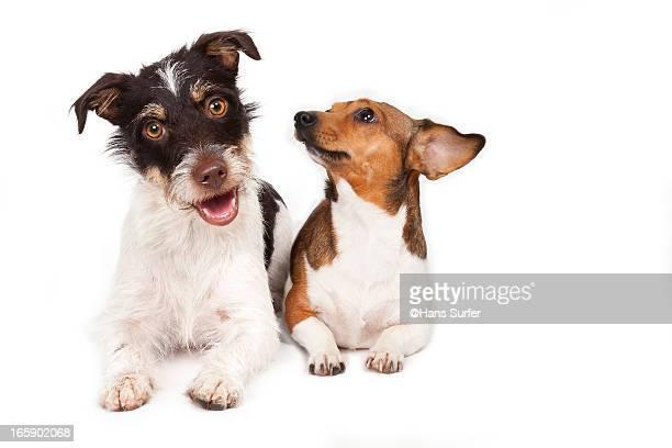 2 Jack Russel Terriers!