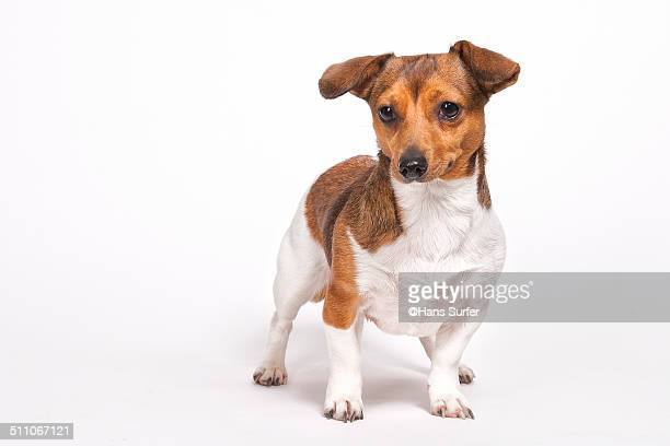 A Jack Russel with Curled Ears!