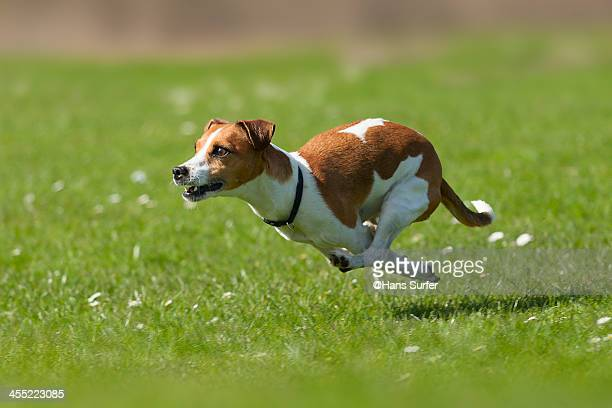 a jack russel with power! - jack russell terrier photos et images de collection
