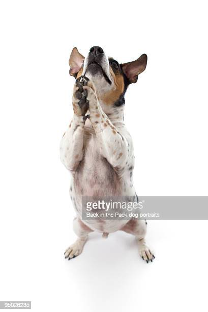 Jack russell begging on white