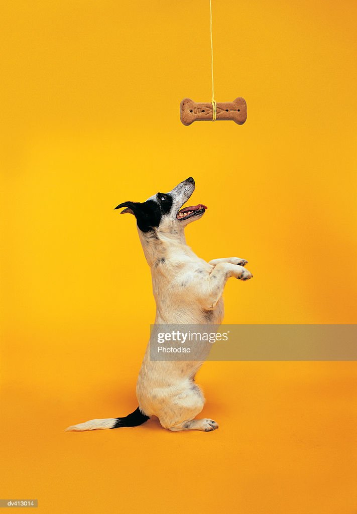 Jack Russell begging : Stock Photo