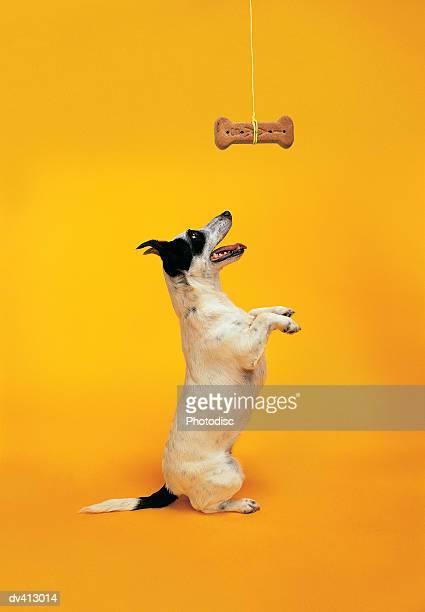 jack russell begging - 動物芸 ストックフォトと画像