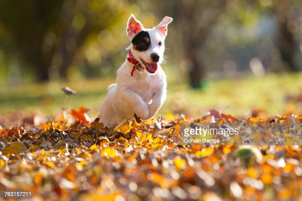 jack russell chasing tennis ball - jack russell terrier stock pictures, royalty-free photos & images