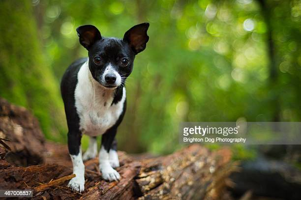Jack Russell chihuahua standing on a tree stump
