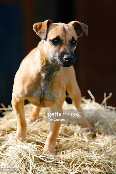 Jack Russell cross Patterdale terrier puppy on a bed of hay England United Kingdom