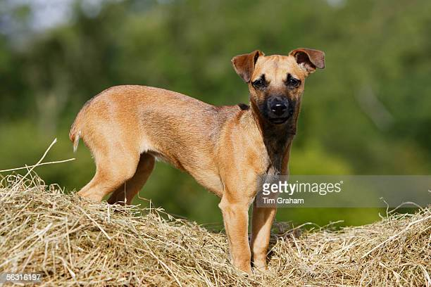 Jack Russell cross Patterdale terrier puppy on a bed of hay, England, United Kingdom.