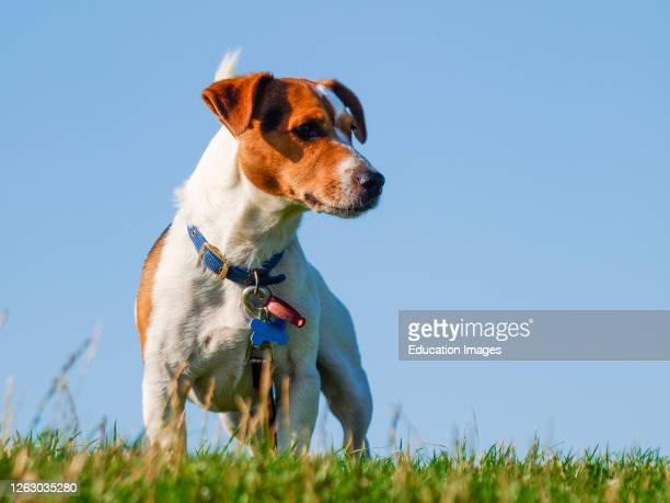 Jack Russell cross terrier.
