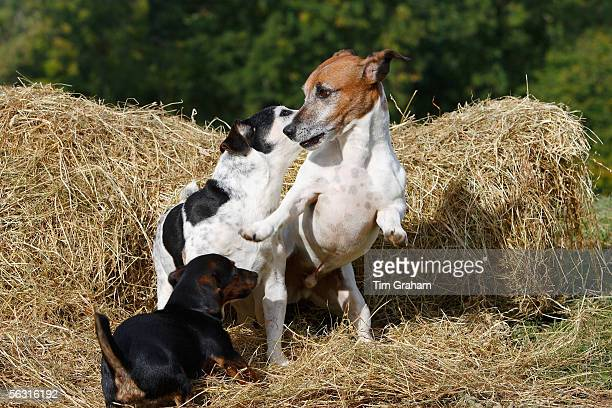 Jack Russell dogs and puppy play on a bed of hay England United Kingdom