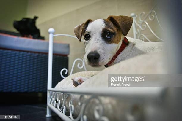 Jack Russell 'Flag' and ''Dolche' rest on their beds in their hotel room at Actuel Dogs on April 19 2011 in Vincennes France Opened in November 2010...