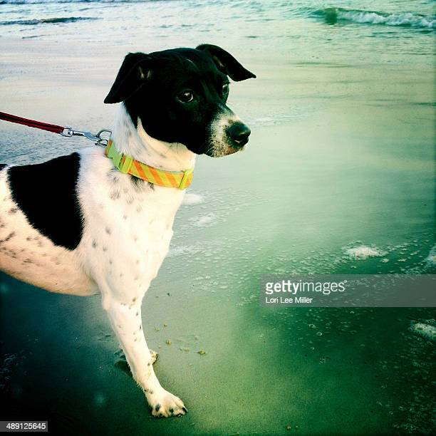 jack russell fox terrier at the beach - lori lee stock pictures, royalty-free photos & images