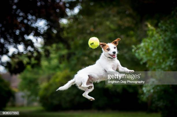 a jack russell jumping after a ball - jack russell terrier stock photos and pictures