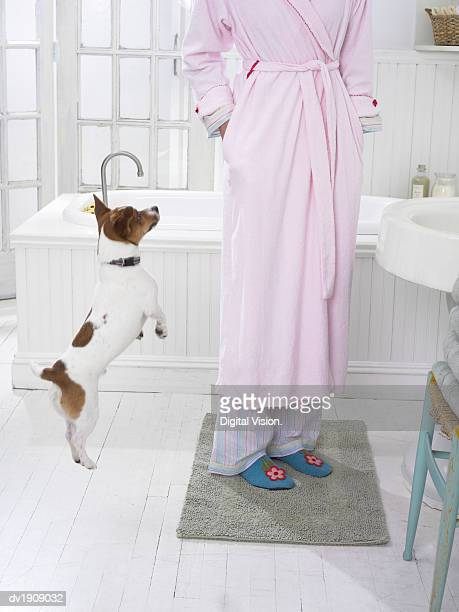 Jack Russell Jumps in the Air by its Owner in the Bathroom as She Gives Him a Treat From Her Pocket
