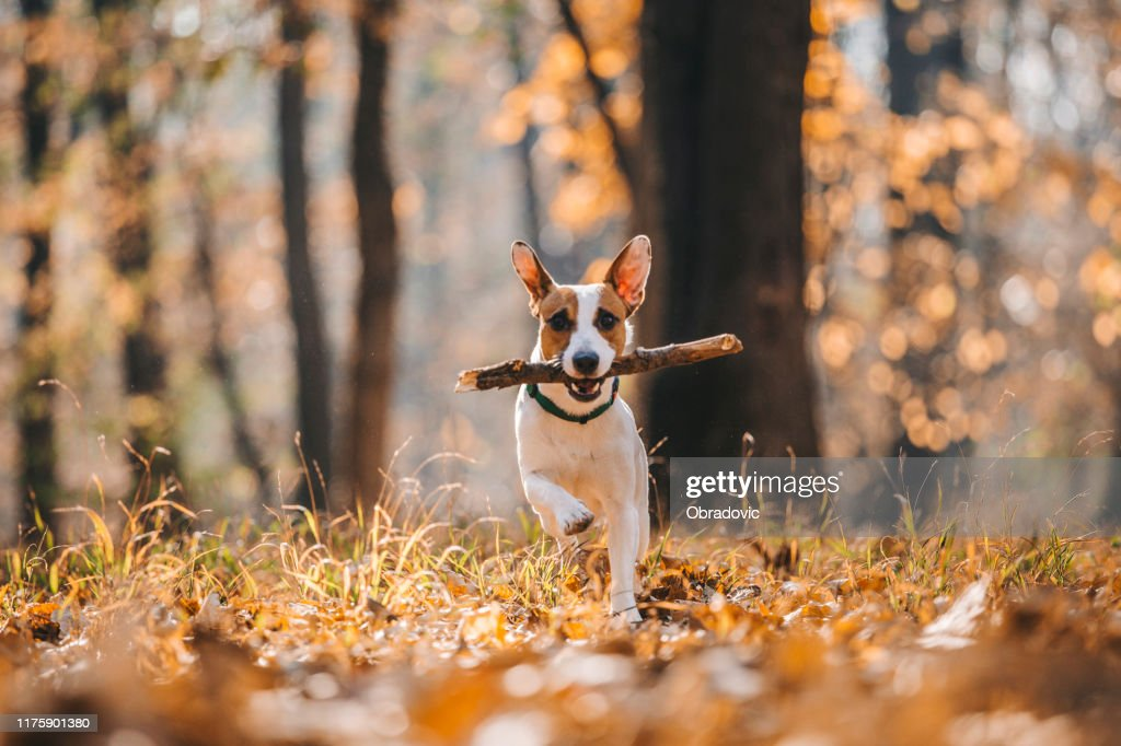 Jack Russell Parson Terrier Running Toward The Camera : Stock Photo