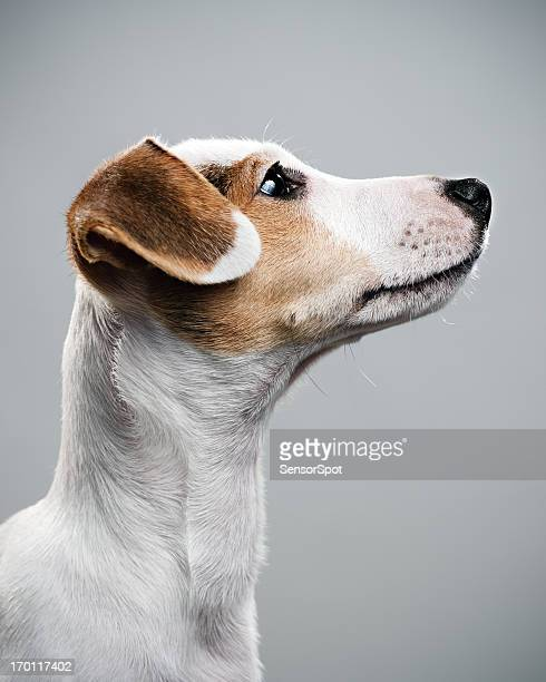 jack russell paying attention - jack russell terrier bildbanksfoton och bilder