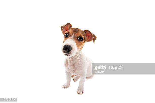 jack russell - jack russell terrier stock photos and pictures